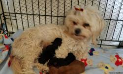beautiful litter of Morkie babies born June 30th. 2 boys available. 1 blonde and 1 black/tan. They will be available end of aug. $800 Taking deposit of $100 to hold now. call or text 719-651-1515