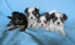 Beautiful little boy Morkie puppies, The mom is a Maltese and the dad is a Yorkie making the non shed and hypoallergentic. They are raised in my home and are very healthy. They come with shots, wormings and health guarantee. We are accepting