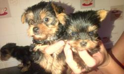We have four healthy, darling, little puppies ready for their forever homes. Talia is 4.5 lb Yorkie, and Sammy, our Maltese is pure white with all black points from breeding and show lines. Anticipate puppies will be 4.5-6 max as adults. Small, Serious