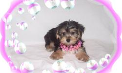 """This baby girl is a sweetheart She is happy and playful and has a wonderful personality. She is a Maltese and a Yorkie mix-""""Morkie"""". She is hypo allergenic and has a nice non shedding hair coat.She is micro chipped.She comes with her first series of"""