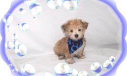 This baby boy is adorable. He is full of love and kisses. He is a great snuggle buddy. He is a Yorkie and a Maltese mix. He would love to be your new lap baby.He is hypo allergenic and has a beautiful non shedding hair coat.He is micro chipped. He comes