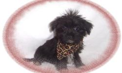 This baby boy is very entertaining. He is full of pep and loves to play. He is a Maltese and a Yorkie mix. He is ready for a new family to spoil him. He is hypo allergenic and has a non shedding hair coat.He is micro chipped. He comes with his first