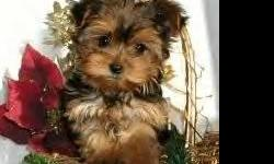 ADORABLE YORKIE LOOK-A-LIKES. POTTY PAD TRAINED. DOCKED TAILS, DEW CLAWS REMOVED. 8 WEEKS OLD. FEMALES>495.00. SMART, SWEET AND LOVING FAMILY COMPANIONS. FIRST SHOT, WORMED, WRITTEN HEALTH GUAR. *NONSHED*. CALL FOR MORE INFO> 916 532 5657....NO TEXT OR