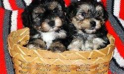 ADORABLE, *NONSHED* BABYDOLL FACES, POTTY PAD TRAINED, SMART, SWEET AND LOVING FAMILY COMPANIONS. 8WEEKS OLD. FEMALES> 525.00. DEW CLAWS REMOVED. THESE YORKIE/MALTESE PUPS ARE THE CUTIEST EVER !. FIRST SHOT, WORMED, WRITTEN HEALTH GUAR. FREE