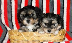 ADORABLE, *NONSHED* BABYDOLL FACES, POTTY PAD TRAINED, SMART,SWEET AND LOVING FAMILY COMPANIONS. 8 WEEKS OLD. FEMALES>495.00. GET THE BEST OF BOTH WORLDS WITH THESE AWESOME YORKIE/MALTESE DESIGNER PUPS! FIRST SHOT, WORMED, WRITTEN HEALTH GUAR. FREE PART