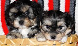 ADORABLE, *NONSHED* BABYDOLL FACES, POTTY PAD TRAINED, SMART, SWEET AND LOVING FAMILY COMPANIONS. FEMALES> 495.00. 8 WEEKS OLD. GET THE BEST OF BOTH WORLDS WITH THESE AWESOME YORKIE/MALTESE DESIGNER PUPS! FIRST SHOT, WORMED, WRITTEN HEALTH GUAR. DEW