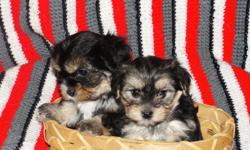 adorable, nonshed, babydoll faces. potty pad trained. smart sweet and loving family companions. 8 weeks old. get the best of both worlds with these yorkie/maltese designer pups. first shot,wormed,written health guar. free puppy starter pack. call for more
