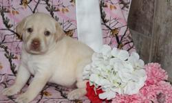 Hiya There! I am Muffin, the sweetest little blonde female AKC Labrador Retriever! I was born on June 17, 2016! I'll come vet checked, with my shots and worming to date. I can't wait to have a bestie to love and to play with me. Will it be