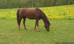 Titan is a 6 year old registered Morgan horse gelding standing 16 HH. Big bone and great feet make this horse a great trail riding or dressage prospect, has great work ethic and confirmation to not break down. He has had 30 days professional training.