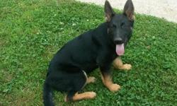 Must see this beautiful 5-month-old female German Shepherd Puppy. Extremely calm, sweet personality and well socialized. Currently being trained by a professional K9 trainer in the language of Portuguese. Will be ready by the 7th of June. This