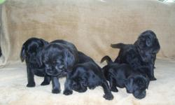 """7 WEEKS OLD 2 females & 4 males The mother is a white Cock-a-poo The father is a black pug. Being an """"informed consumer"""" is important these days. And if you are concerned about medical treatment for your puppy prior to ownership, than these are the"""