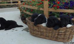 We have a stunning litter of Newfoundland puppies. Wehave Black and Landseers both male and female. They will be ready for their new homes on November 13th. These puppies come with FULL AKC papers, their first shots and deworming.