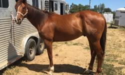 Nice 6 year old thoroughbred 16h gelding. He is super sweet and super broke. He is ready to go any direction. He was started with an English saddle but I have rode him in a western saddle for the last 2 years. He would make an excellent dressage or even