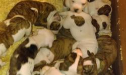 We have nkc American bulldogs. There is 4 females and 12 males. Mostly brindle and reverse brindle. They will be ready Jan 29. For more info text, call or email