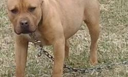 Gorgeous thick heavy bodied boned female.7 mos.Xl head.Clean and correct.Show potential. UTD on shots & worming including rabies.Vet.checked.Very friendly and smart. Sorry no checks