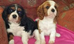 Cavalier king charles spaniel Puppies available male and female These beautiful babies are the sweetest puppies that I have had the pleasure of fostering. They are very affectionate, loving and of course great fun to watch play. Text only via
