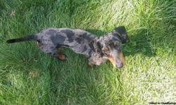 Offering a stud service for a CKC registered miniature dapple dachshund. he has extremely rare markings what make him unique with black and silver spots. our asking price is whatever you will be charging for the pick of the litter and we will only accept
