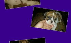 I have 1 females Olde English Bulldog puppies they are 9 weeks old. They have had their first 2 shots and dewormer. They are loveable, playfull and very sweet little puppies. They are IOEBA registered and come with a 1 year health guarantee. Please text