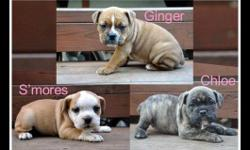 We have a beautiful litter of Olde English Bulldog puppies!!!! They are 8 weeks old and very bully. Wonderful temperaments. Only 3 females left!!! 1 yr health guarentee, 1st shots, tails, dew claws, and de wormer included. Mom and dad on