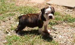 Generational Olde English Bulldogge puppies available August 4, 2016! They come with NBA puppy registration papers, first shots, dew claws removed and tails docked. These puppies are very well socialized and HAPPY!