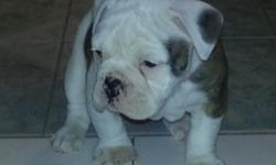 Olde english bull dogges 4 sale! Ready now!! I.O.E.B.A registered.Big Head lots of wrinkles!! We are a registered kennel.we breed our puppies indoors .raised with kids.has first shot.must see will fall in love.please call 661-733-7037 or 661 -618-8408 or