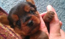 Three male Yorkie Pups. Will have first shots, tails docked, dewormed and first dose of frontline. Puppies will come with Registration paperwork. Pics of dam/sire available upon request. *****update, one puppy left**** Ready now!!! 910-363-7200
