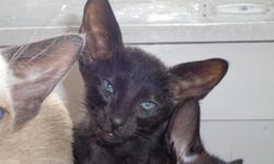CFA oriental Shorthair kitten  Ebony male gorgeous emerald eyes. Raised in a loving environment with lots of attention, very social BOLD and BOSSY!!! Genetically sound and healthy from a reputable cattery with 27 years breeding experience.