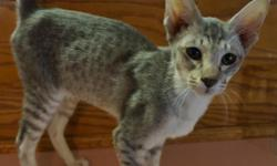 Registered & pedigreed Oriental Shorthair kittens from championship lines ready now!  1 adorable & sweet blue/silver spotted girl left & looking for a good pet or show home.  Registered breeder with parents on site.  Vaccinated,