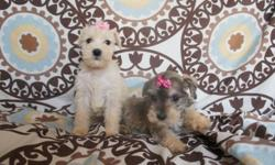 hello, I am going to give my puppies sale schnauzer I have 2 females are 8 weeks old, and eat alone, are dewormed, are very healthy and healthy race are original and well playful, and very beautiful, we want to sell at the price of 350 dollars, to people