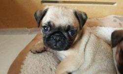 * * Outstanding Pug Puppies for PetLovers. my puppies are lovely and Freindly they make Great companions CONTACT (313) 723-5160 FOR MORE INFO AND PICS
