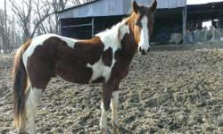 Unbroke, unspoiled to riding, nearly 2 years old MUST GO TO GOOD HOME PLEASE. Good colt aside from the stud kinks.
