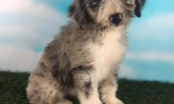 Howdy, I'm Paisley, the darling female Standard Aussie-poo. I was born on May 27, 2016. I like hearing that I am a good gal! They're asking $999.00 for me.  I'll come with my shots and worming to date. If you think I'm the most enchanting