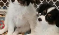 I have two 11 week old Papillon pups for sale. They?re non registered full blood Papillion?s. I am selling them for $400+ Delivery. I will fly with them in the cabin if necessary to deliver them outside of South Dakota. The boys have had their first