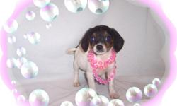 This baby girl is a gentle sweetheart. She has been raised with kids and loves to play. She is a Beagle and a Papillon mix. She is ready for a new family to love.She is micro chipped.She comes with her first series of shots, wormings and a Vet Health