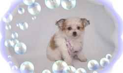 """This baby girl is precious. She is tiny but has a great big personaity. She is a Papillon and a Poodle mix-""""Papipoo"""". She is ready for a new family to love.She is micro chipped. She comes with her first series of shots, wormings and a Vet Health"""