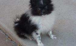 ACA registered male Pomeranian born 5/14/11 - black/white parti colored (unusual). Has had all 3 puppy shots and is micro-chipped. He is pretty little, will only be 4 1/2 to 5 pound adult. Eating very well. Likes to play hard but also likes to be held.