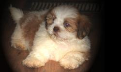 Beautiful little green eyed, liver nose Shih_Tzu puppy. She was born on May 1, 2014 and has had her first set of shots. She will come with complete vet records. This little cutie comes pre-spoiled and is a loving little fur ball. She is pure bred and can