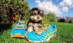 Meet ?Ricardo?, our gorgeous male Parti Morkie Designer puppy available in San Diego. He is current on his vaccines and comes with a One Year Congenital Health Guarantee. Ricardo will be 5-6 lbs Full Grown. He is currently 8 weeks old and ready to go to a