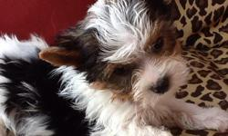 akc parti yorkie male puppies 8 weeks old awesome personility small size