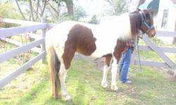 green broke Pleasure/ performance riding mare.  A great mare for someone who has a trainer.  14 hands, brushs, baths, trailers.  Cash or trade for the right paso fino mare. Intermediate rider.