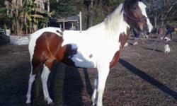 3YR TRI-COLOR PAINT VERY CALM MAKE REAL GOOD TRAIL PASO HAS SMOOTH GAIT SHE VERY CALM LOADS, TIE, ASKING $1000. HAS COGGIN NOT REG. PURE BREAD PASO 813-546-8871