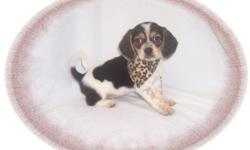 """This baby is delightful. He has a cheerful personality and loves to play. He would make a great pet for children. He is a Beagle and a Pekingese mix-""""Peagle"""".He is micro chipped. He comes with his first series of shots, wormings and a Vet Health"""