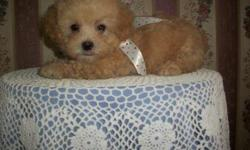 1 Male Pekapoo (Pekingese/To?y Poodle) born on 5-12-11. UTD on shots and comes with a health warranty. *?* Credit Cards Accepted (Visa/MasterCard???) ** Financing Available (Please Inquire) ** Shipping Available ** Microchipped ? For More Info Call/Text: