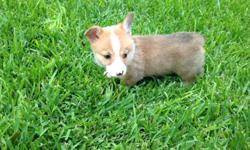 AKC Registered Pembroke Welsh Corgi's born June 22,20141 males, wormed, first shots, and vet checked. contact Linda @ (254) 723-6884
