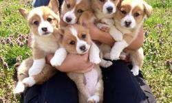 5 beautiful Pembroke Welsh Corgi Puppies. Born February 2, 2014. 4 girls and 1 boy. Mom is red/white and dad is a tri-colored. Taking deposits. Email oakhillcorgis@yahoo.com for more info.