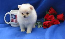 Perfect Beautiful Tiny Teacup Size Pomeranian Puppies..We have three little girls (one is now reserved) and one little boy, they are black and white and pure white in colour. Both Mother and Father are KC registered and can be seen, they are our much