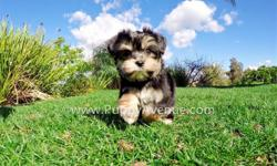 Meet ?Ricardo?, our incredibly beautiful male Morkie Designer puppy available in San Diego. He is current on his vaccines and comes with a One Year Congenital Health Guarantee. Ricardo will be 5-6 lbs Full Grown. He is currently 8 weeks old and ready to