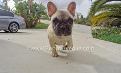 This little cutie is ?Giselle?, our sweetest female French Bulldog puppy for sale in San Diego. Check her out in action: http://youtu.be/oQYhz_yFIAQ * 11 weeks old * Adult weight: 22-27 lb. * Checked by a Licensed Vet * Clean Bill of Health * Current