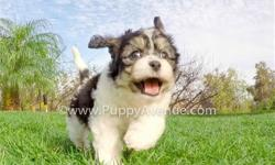 This sweet girl is ?Kirsten?, our precious female CavaChon Hybrid puppy for sale in San Diego. She has a great temperament, and she?s ready for a wonderful home.   Cavalier King Charles Spaniel x Bichon Frise * 9 weeks old  * Adult weight: 8-13