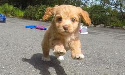 """Come and visit """"Miesha"""" the cutest female CavaPoo puppy! She is very loving and loves to play! # Cavalier King Charles Spaniel x Toy Poodle # Adult weight 7-11lbs # 9 weeks and ready to go home! # One Year Congenital Health Guarantee # Vet checked # Clean"""